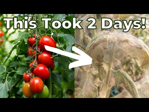 Spider Mites Were the DEATH of My Tomatoes