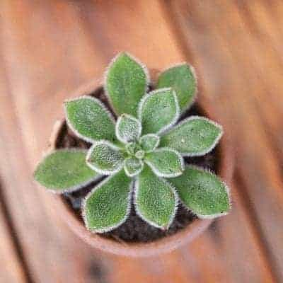 Succulent Echeveria 'Doris Taylor'-Wooly Rose Planted in Homemade Succulent Soil