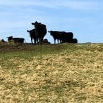 Cattle standing out on the ranch.
