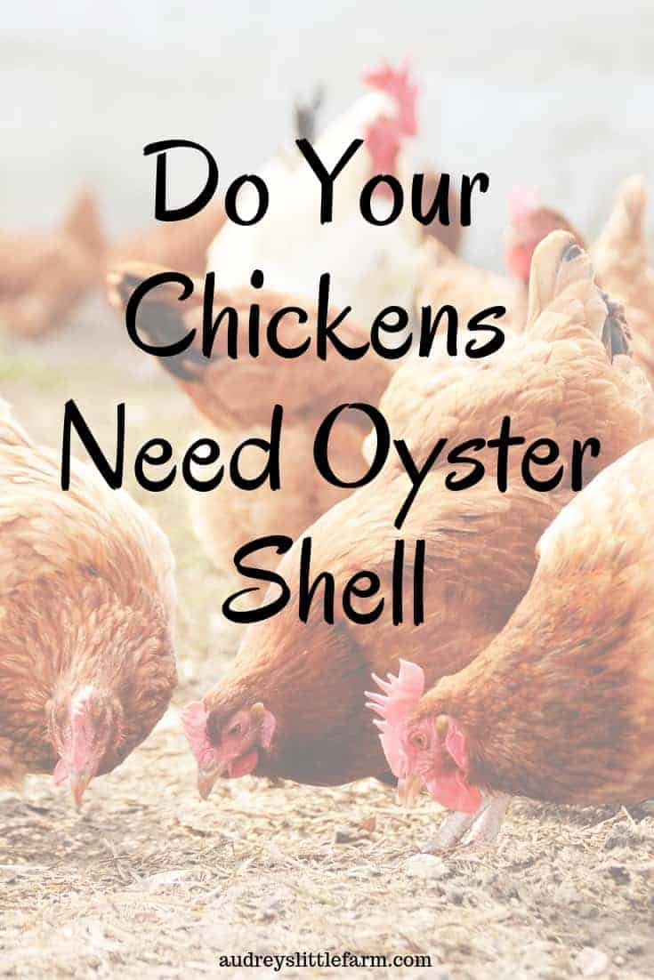 Red Chickens Eating Oyster Shells
