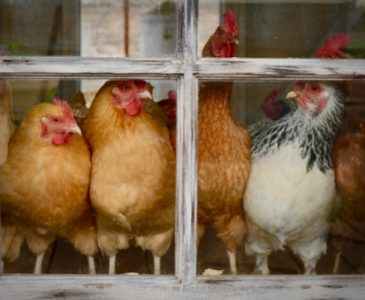 Hens in a Chicken Coop