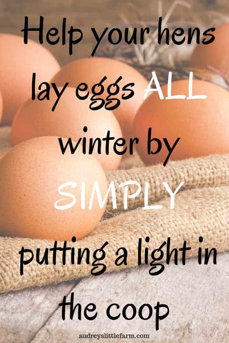 Chicken Eggs Laid During Winter from Faving a Light in the Chicken Coop