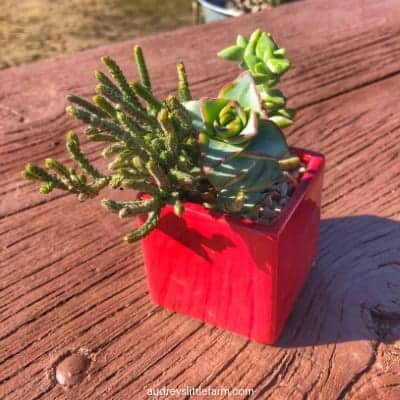 Succulents Planted in a Small Red Pot