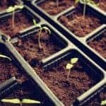 Tomato Seedlings Beginning to Germinate