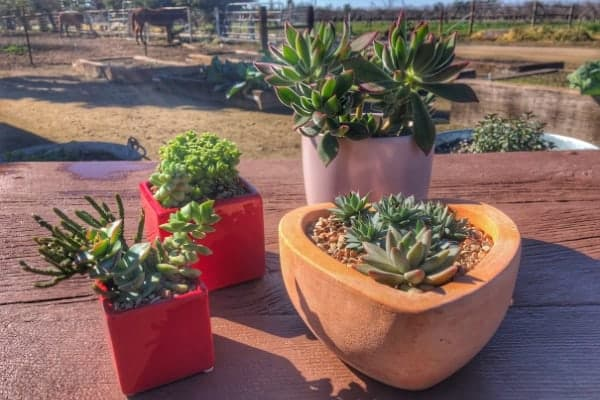 Succulent Arrangements Planted in Pots for Valentine's Day