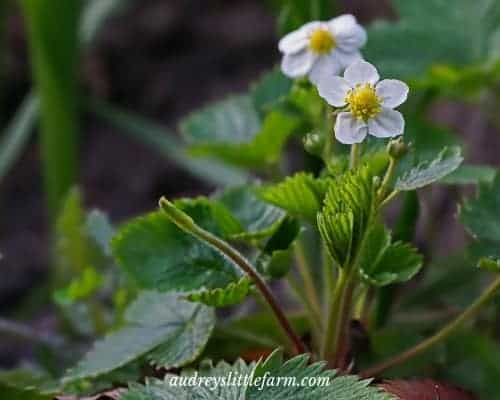 A Strawberry Plant in Bloom