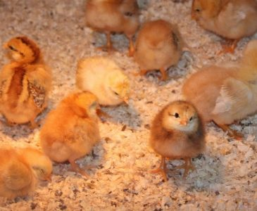 Baby Chicks in a Chick Brooder