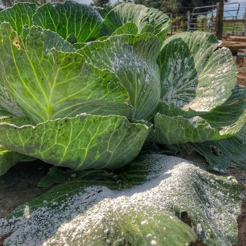 Diatomaceous Earth on a Cabbage Plant
