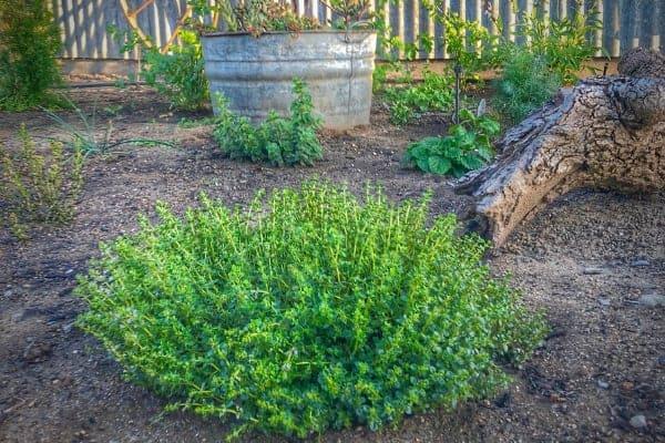 Create Your Edible Garden With Herbs