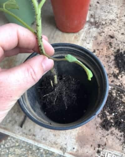 Repotting a Tomato Seedling into a Larger Pot