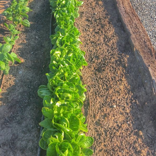 Lettuce That is Over Crowded Growing in the Garden