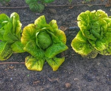 Lettuce Plants That Have Been Thinned Out