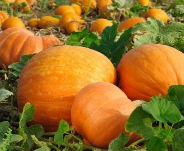 Pumpkins That Have Been Successfully Grown