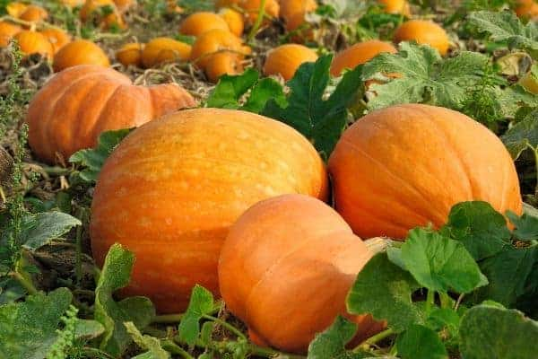 How to Grow Pumpkins Successfully