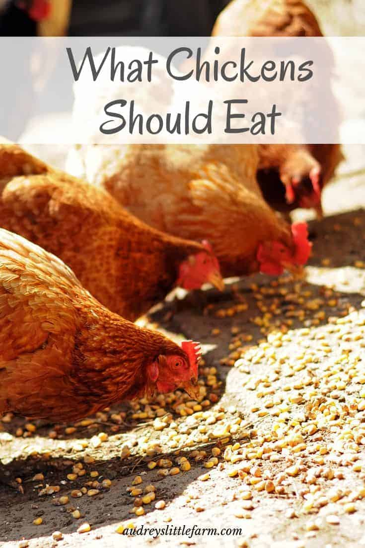 Chickens Eating Chicken Scratch and Layer Feed
