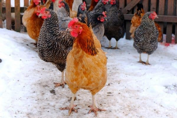 11 Best Chicken Breeds for Cold Weather