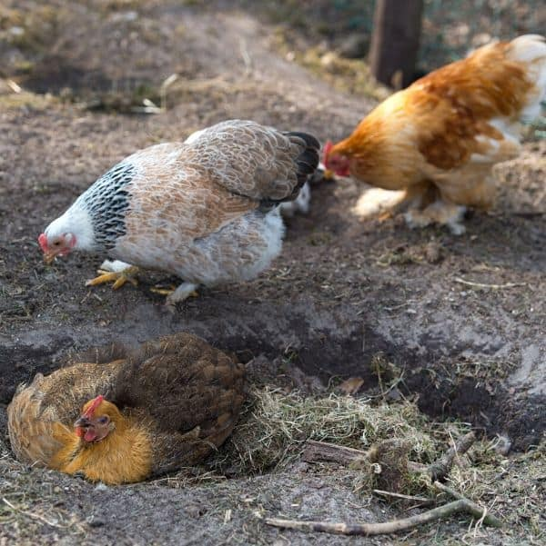 Chicken's Fluffing in the Dirt