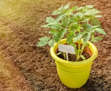 Heirloom Tomato Plants Growing in a Pot