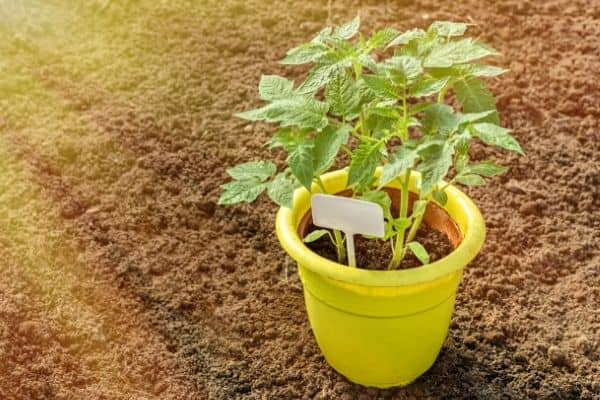Best Heirloom Tomatoes for Containers