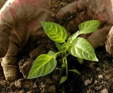 Transplanting Vegetable Plants Into the Garden