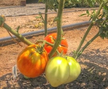 Tomatoes Growing on an Indeterminate Tomato Plant