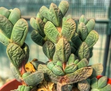 An Underwatered Succulent Plant