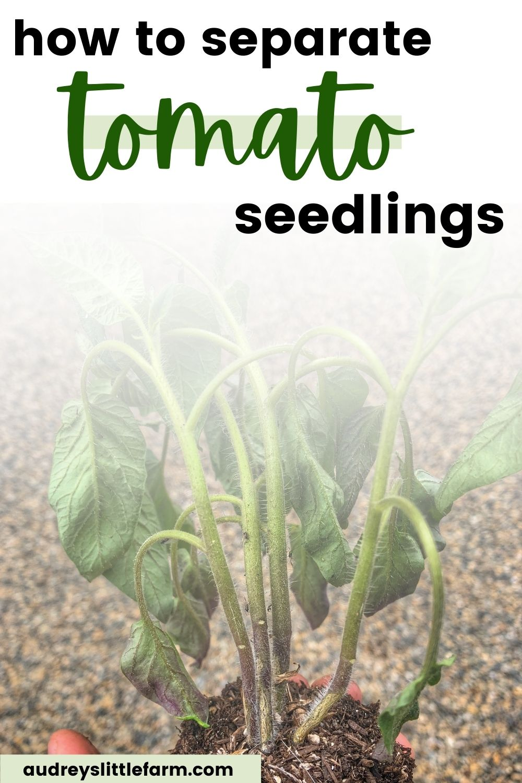 Multiple Tomato Seedlings Growing Together