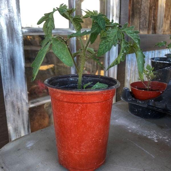A Tomato Transplant