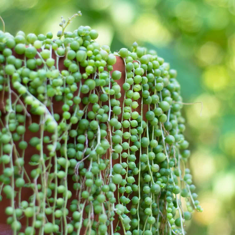 String of Pearls (Senecio rowleyanus) Succulent