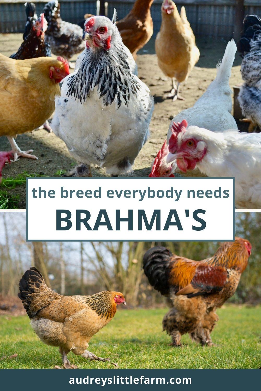 Brahma chickens roaming around outside