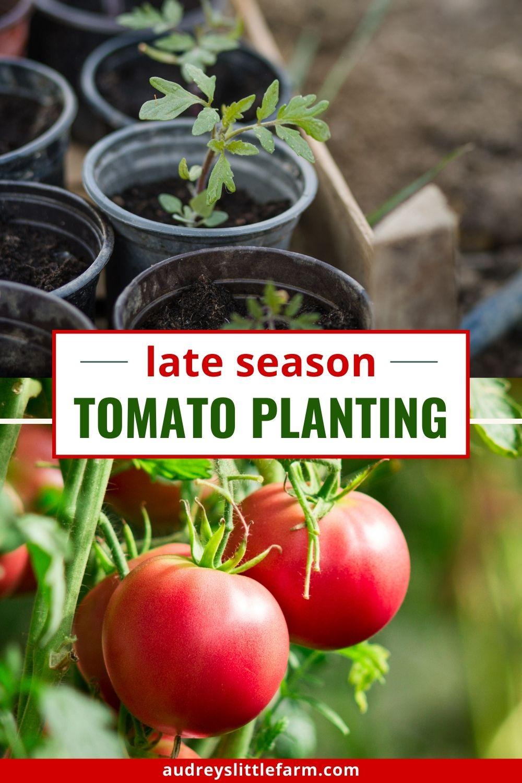 Late Season Tomato Plants in the Garden