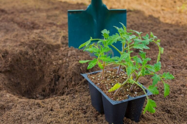 5 Tips for Late Season Tomato Planting