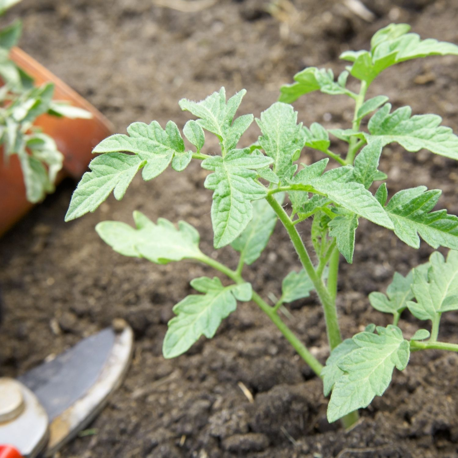 A tomato transplant getting planted in the garden