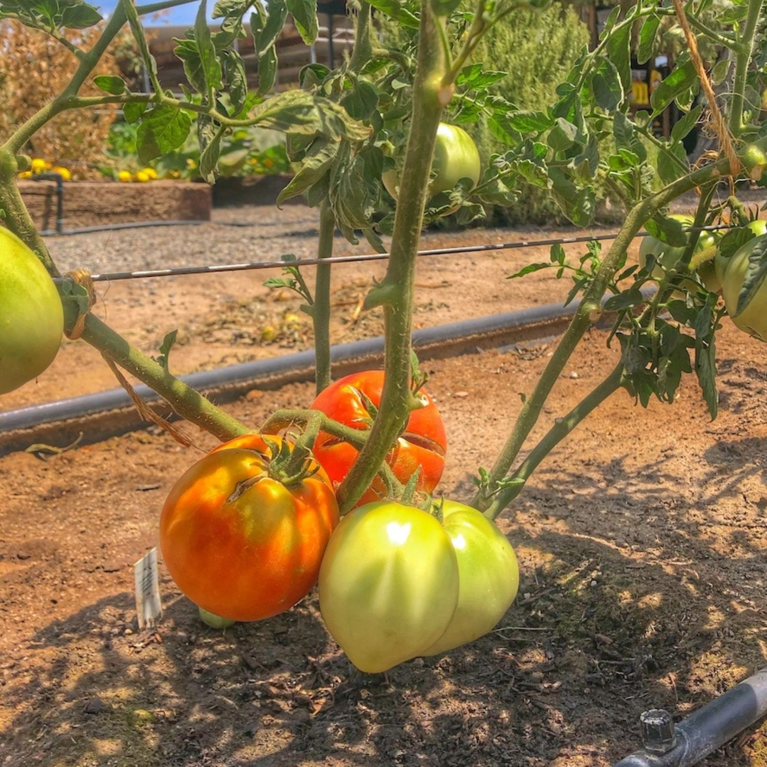 Tomatoes growing in the garden