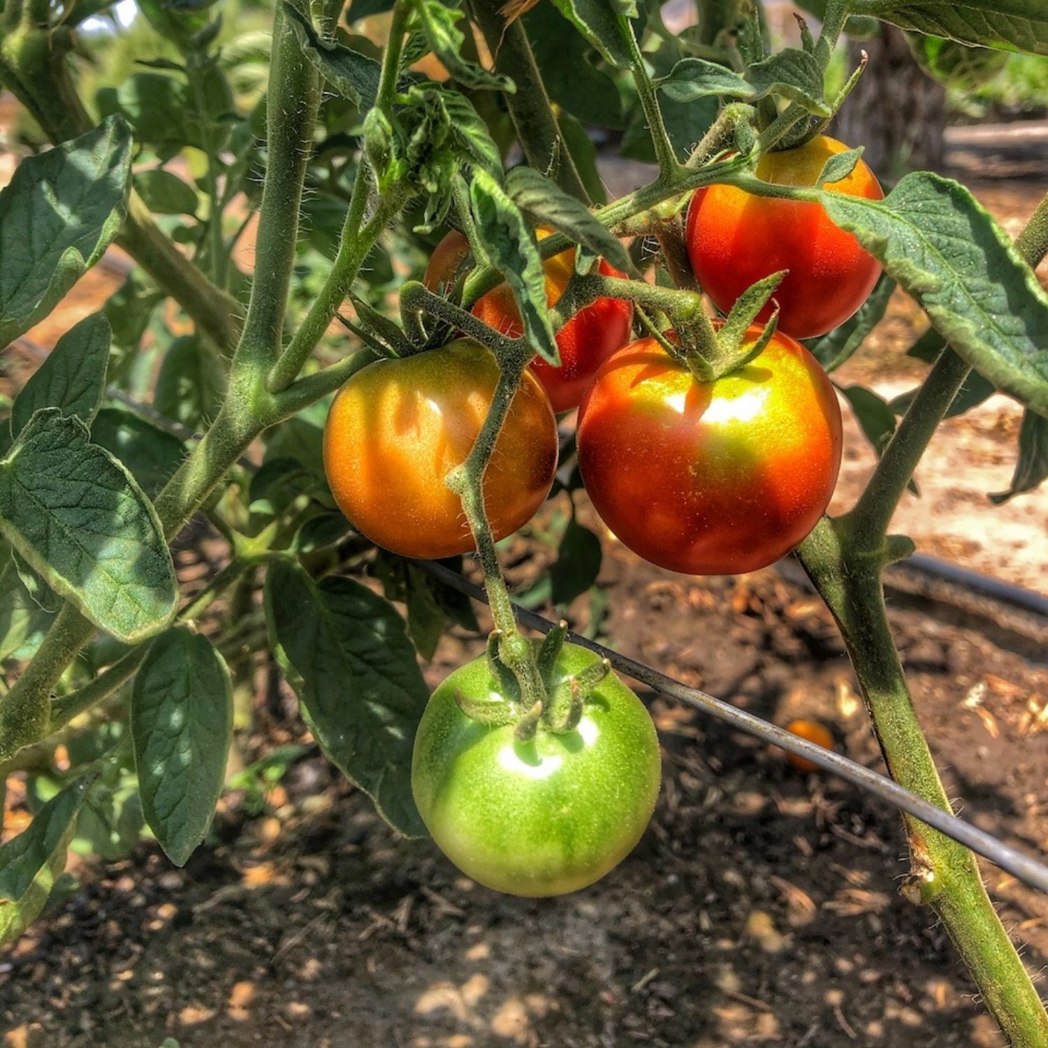 Ripe tomatoes ready to be harvested