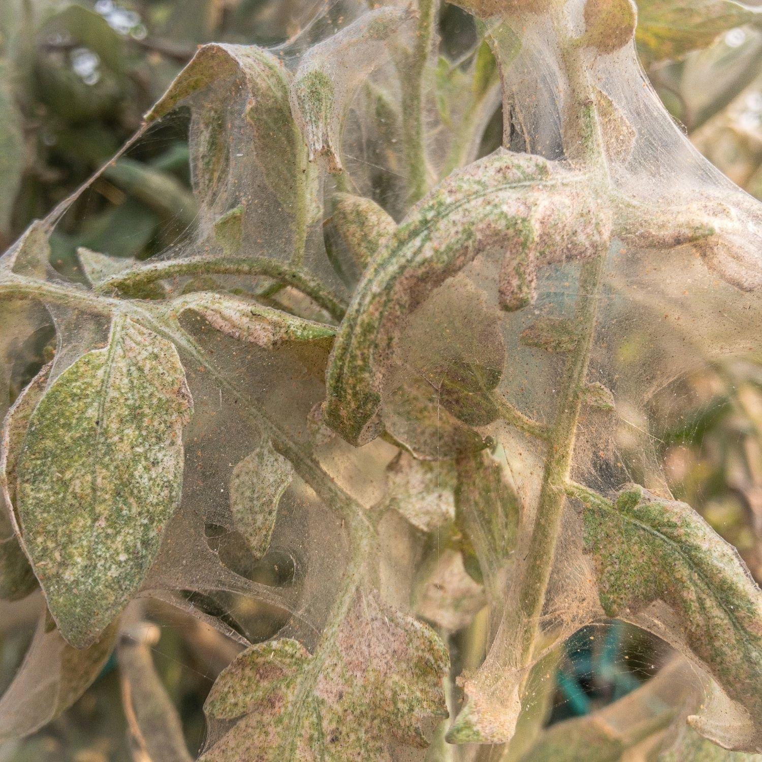 Webbing from spider mites covering tomato plants