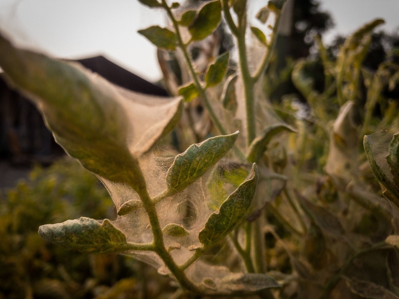 Spider mites on tomato plants