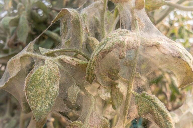 Spider Mites On Tomato Plants | Identify, Kill, & Prevent